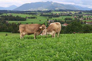 cows-953970_1280